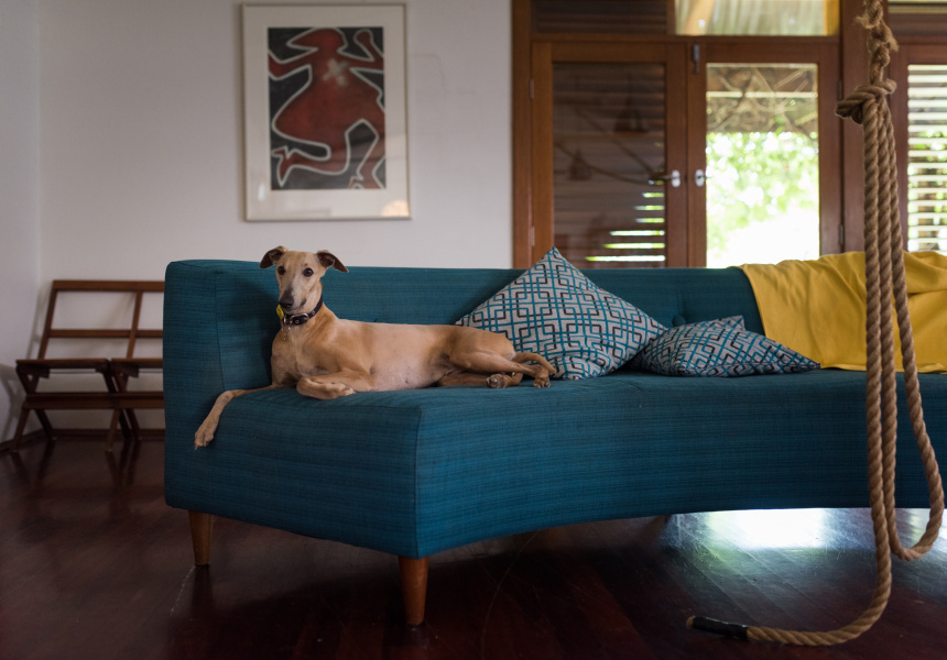 Ziggy the whippet, at the home of Adelaide actor Tilda Cobham-Hervey