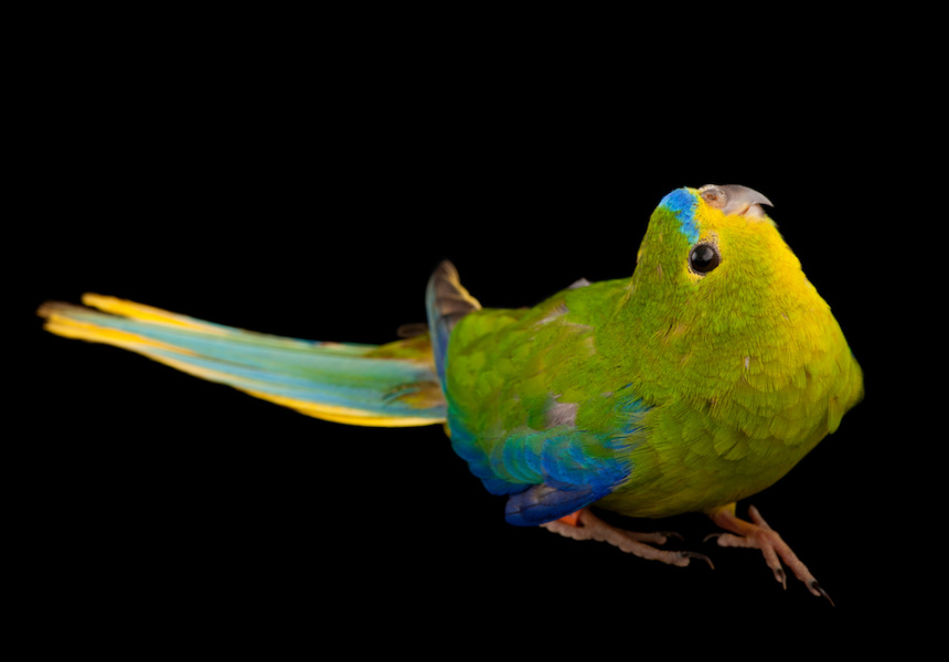 Orange-bellied Parrot, photographed at Healesville Sanctuary. There are fewer than 50 left in the wild.