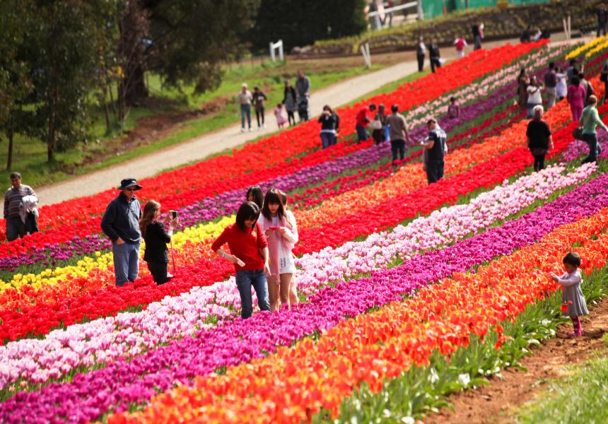 The Tesselaar Tulip Festival