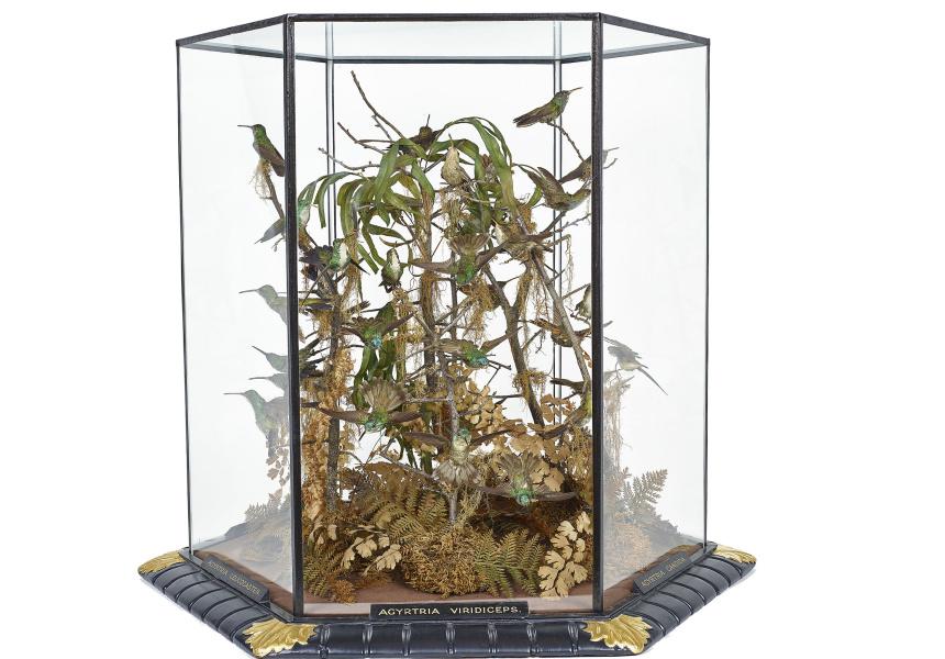 Gould Hummingbird case