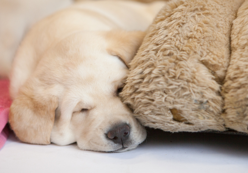 Images courtesy of Guide Dogs Victoria.