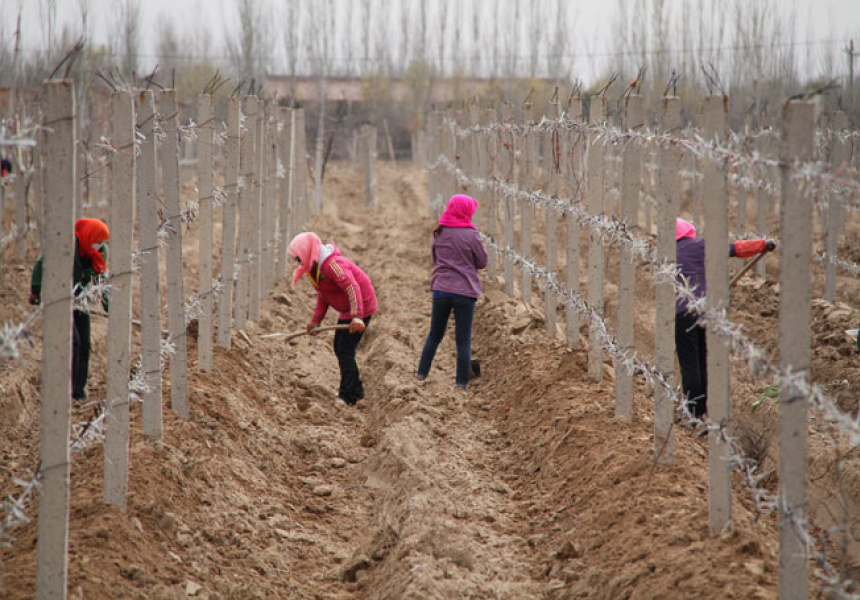 Workers-bury-vines-for-winter,-Ningxia-Province,-China