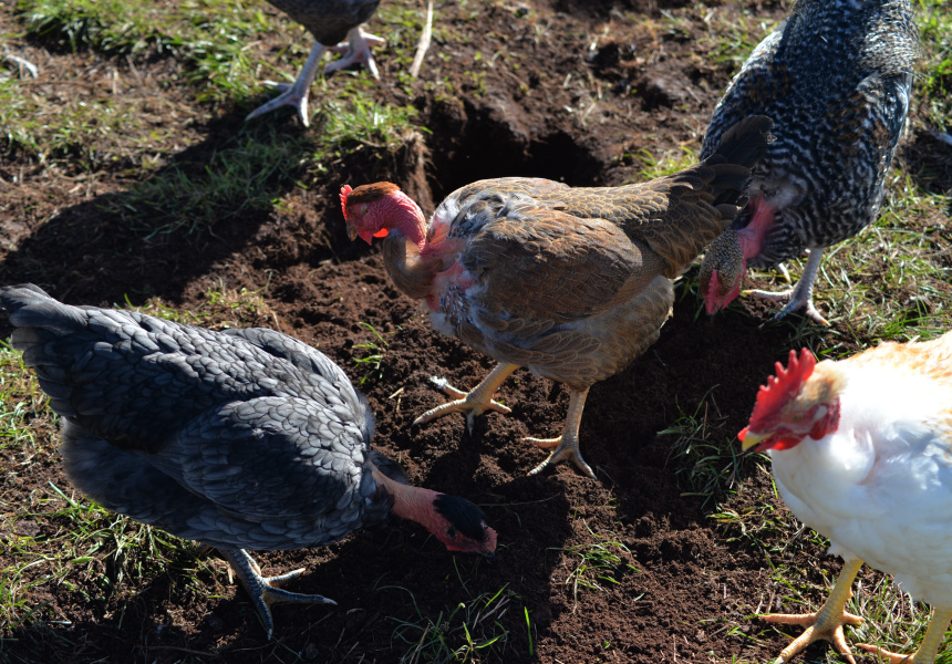 Bruce and His Chickens - Broadsheet