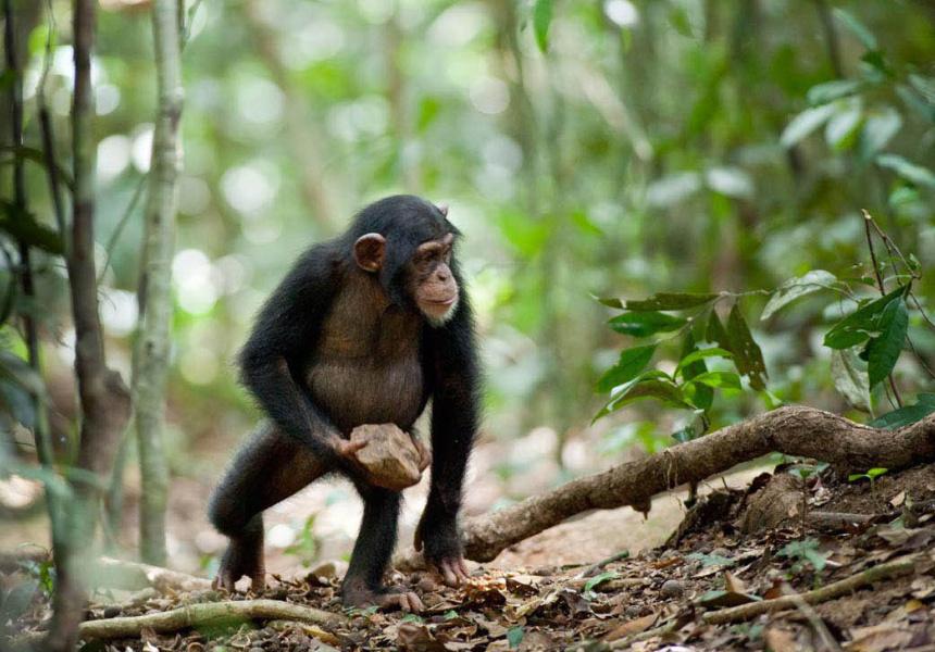 Chimpanzee, showing at ACMI