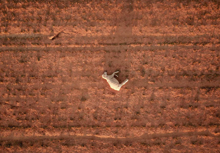 A dead sheep on a dry and dusty field near Parkes in August 2018.