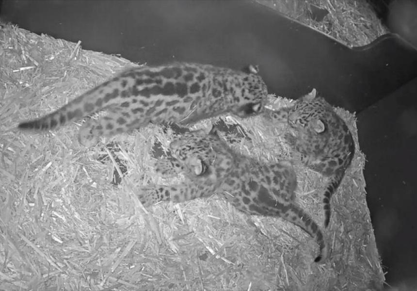 Melbourne Zoo's snow leopard cubs