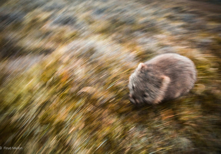 Running Wombat - Junior Category Winner