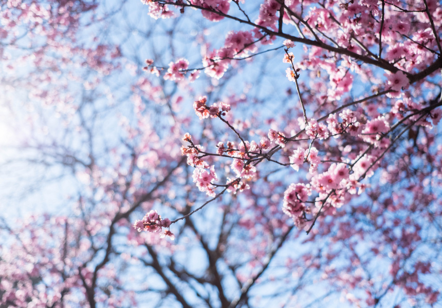 Sydney Cherry Blossom Festival 2019,Wall Stickers For Bedroom Amazon