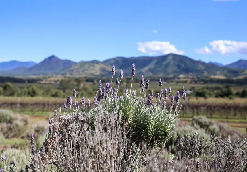 Kooroomba Vineyards and Lavender Farm, Mount Alford